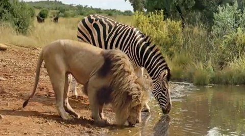a lion and zebra drinking together from a water hole